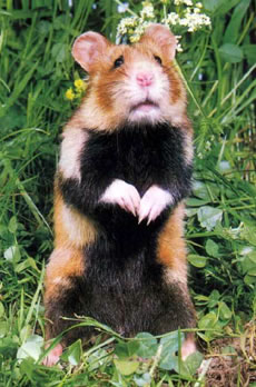 Grand Hamster d'Alsace en photo