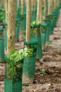 Vigne OGM Alsace