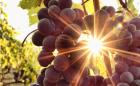 Raisin des vins Vinovinia