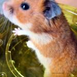 Découvrez le Grand Hamster d'Alsace, un petit rongeur en voie de disparition