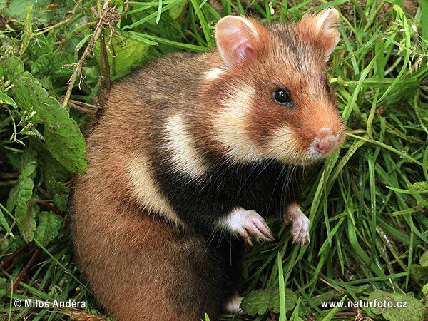 Hamster commun, grand Hamster d'Alsace, ou bien encore Cricetus cricetus. Photo : Milos Andera